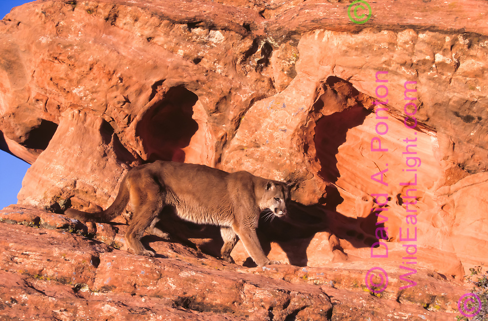 Mountain lion walks along   sandstone ledge, UT, © David A. Ponton (This animal was born in captivity and is not releasable. It was taken to a natural outdoor setting for photography.)