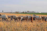 Israel, Negev Desert Beduin Sheep feed in a harvested wheat field