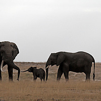 Africa, Kenya, Amboseli. A young elephant greets a bull elephant approaching it's mother.