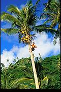 Coconut tree, Samoa<br />