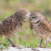 Pair of burrowing owls (Athene cunicularia) outside their burrow nest. Male owl affectionately grooms his mate.