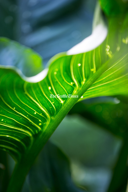 Calla lily leaf. (Mike Siegel / The Seattle Times)