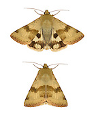 73.072 (2401)<br /> marbled clover - Heliothis viriplaca