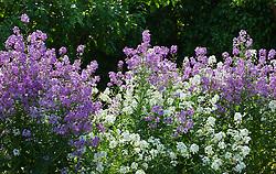 Hesperis matronalis White and purple mix. Sweet rocket, Dame's violet