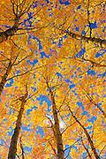 Trembling aspen (Populus tremuloides) forest in autumn colors<br /> Prince Albert National Park<br /> Saskatchewan<br /> Canada