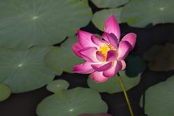 Lotus, nelumbo, pink #9