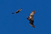 One juvenile bald eagle (Haliaeetus leucocephalus) attacks another that flew too close as they soared over the Squamish River in Brackendale, British Columbia, Canada.