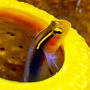 Shortstripe Goby inhabit sponges, often inside tube sponges in Bahamas and Caribbean; picture taken Nassau, Bahamas.