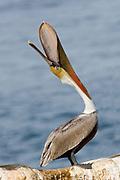 "Brown Pelican in full breeding colors ""throwing"" its head.(Pelecanus occidentalis).La Jolla, California USA"