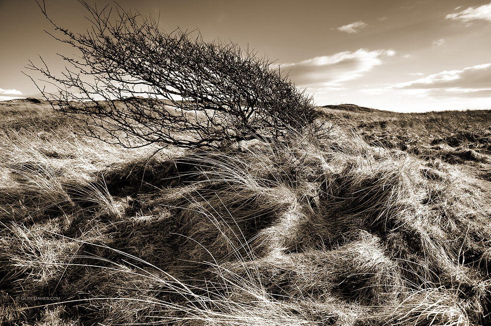 The low stunted bush obviously betrays the powerful and ever present prevailing winds from the Irish Sea. In fact the whole land on which this tree sits is a mass of once shifting sand dune, slowly and tenaciously reclaimed by grasses, mosses and finally plant life.