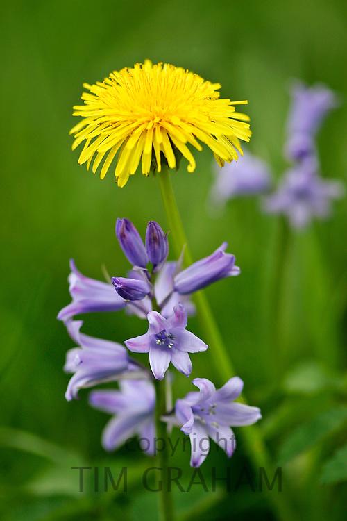 Bluebells and Dandelion, England