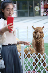 August 28, 2017 - Shenyan, Shenyan, China - Shenyang, CHINA-28th August 2017: (EDITORIAL USE ONLY. CHINA OUT) ..The alpacas attract many people's attention at a shopping mall in Shenyang, northeast China's Liaoning Province on Chinese Valentine's Day. (Credit Image: © SIPA Asia via ZUMA Wire)