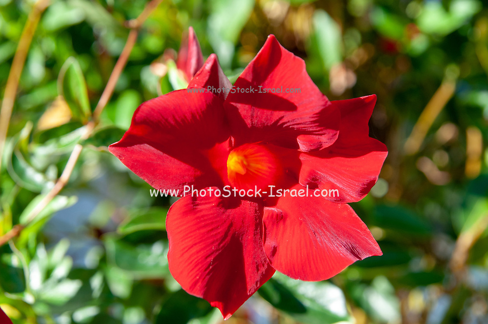 Closeup of a beautiful red flower front top view