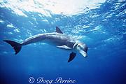 wild bottlenose dolphin, Tursiops truncatus, Little Bahama Bank, Bahamas, Western Atlantic Ocean