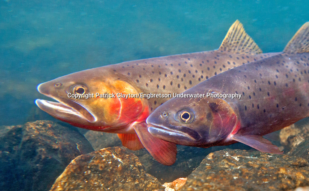 Yellowstone Cutthroat Trout (spawning pair)<br /> <br /> Patrick Clayton/Engbretson Underwater Photography