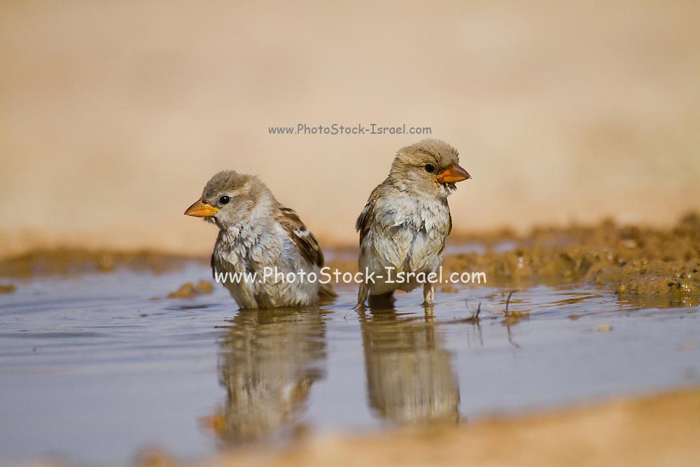 House Sparrow (Passer domesticus biblicus)  juveniles near the water, negev desert, israel