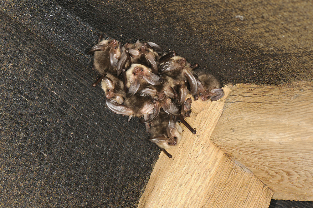 Brown Long-eared Bat - Plecotus auritus<br /> winter roost