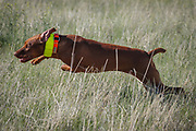 SHOT 5/9/20 8:45:22 AM - Various pointing breeds compete in the Vizsla Club of Colorado Licensed Hunt Test Premium at the Rocky Mountain Sporting Dog Club Grounds in Keenesburg, Co. (Photo by Marc Piscotty / © 2020)