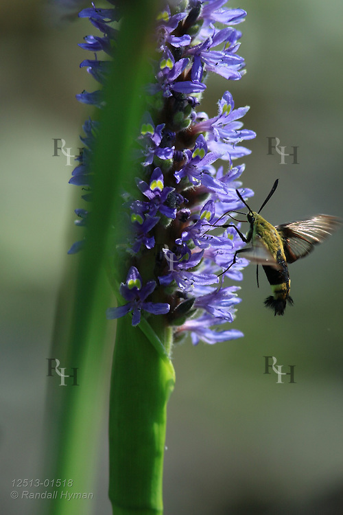 Snowberry clearwing (Hemaris diffinis), a type of hummingbird moth, sips nectar from pickerelweed (Pontederia cordata) at Shaw Nature Reserve, Gray Summit, Missouri.
