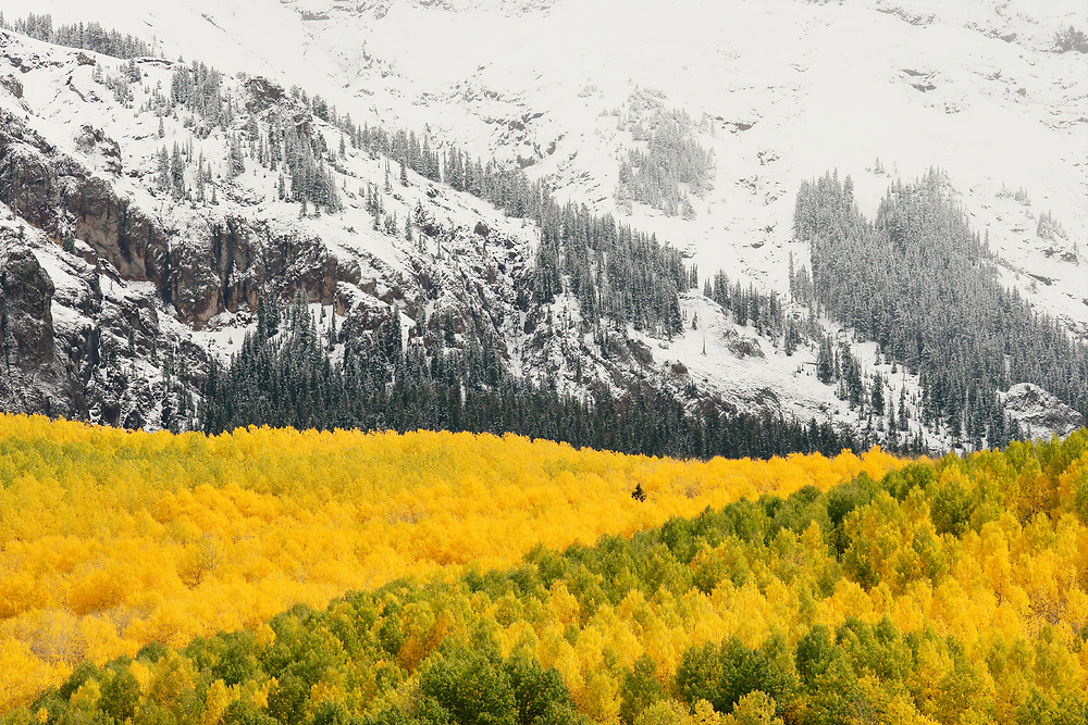 QUAKING ASPEN FOREST AND FIRST SNOW ON THE WEST FACE OF HAYDEN PEAK, AUTUMN, MOUNT SNEFFELS WILDERNESS, COLORADO