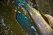 Arctic Grayling showing off the vivid color unique to this fish.