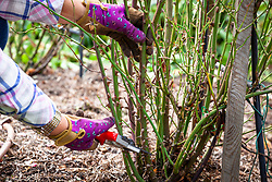 Removing old or weak stems of roses with secateurs