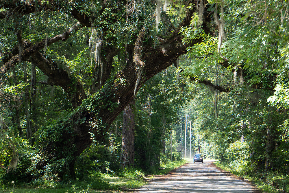 Live oaks draped with moss spread over Graves Road near Bluffton.