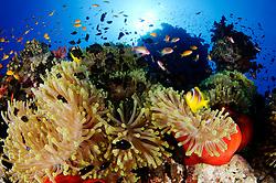 Amphiprion bicinctus, Heteractis magnifica, Dascyllus trimaculatus, Anthiadinae, Buntes Korallenriff mit Prachtanemone, Rotmeer Anemonenfischen, Dreifleck-Preußenfischen und Fahnenebarsche, Coral reef with magnificent sea anemone, Red Sea Clownfish, Threespot Damselfishes and Anthias, Abu Fandera, Rotes Meer, Süd Ägypten, Red Sea, South Egypt