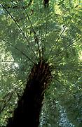 Silver Tree Fern, Cyathea dealbata, New Zealand, endemic, originated from the Pliocene epoch,around 5.0–1.8 million years ago