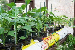 Pepper 'Denver F1' plants growing in growbags in greenhouse