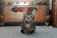 Middletown, NY - A kitten sits in front of a wooden trunk on April 14, 2008.