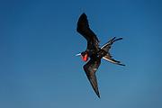 Great Frigate Bird (Fregata minor ridgwayi) in Flight<br /> North Seymour<br /> Galapagos<br /> Ecuador, South America