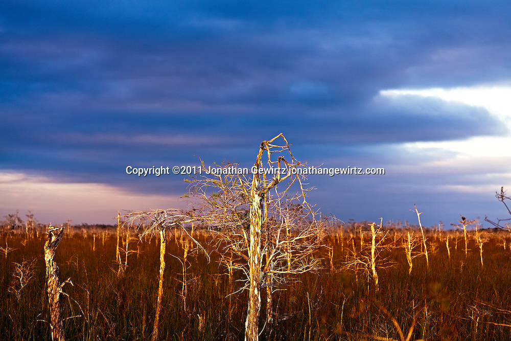 Dwarf Cypress forest in Everglades National Park, Florida. WATERMARKS WILL NOT APPEAR ON PRINTS OR LICENSED IMAGES.<br /> Licensing: https://tandemstock.com/assets/43511790