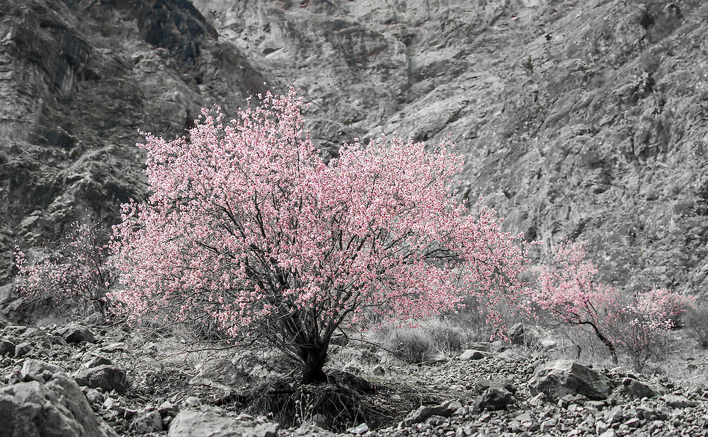 Stock photograph of pink blossom on apricot trees in the rocky mountains of Tajikistan