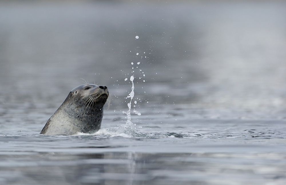 Harbour seal, Phoca vitulina, Svalbard, Norway, Arctic