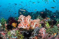 Soft Corals and Crinoids dominate the reeftop landscape, with Wrasses cruising above, in search of a meal.<br /> <br /> Shot in Indonesia