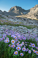 Field of wildflowers composed of purple Asters in Indian Basin, Fremont Peak is in the distance, Bridger Wilderness, Wind River Range wyoming