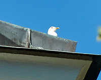 Mew Gull (Larus canus). Stockholm, Sweden. Image taken with a Nikon D4 camera and 10-100 mm VR lens.