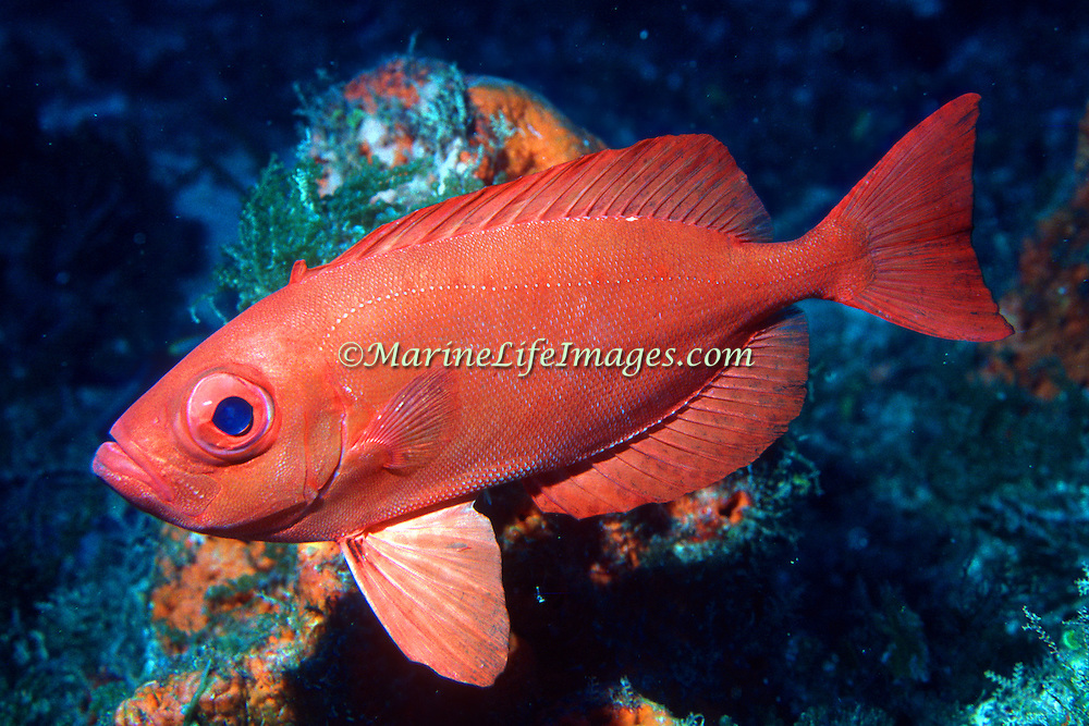 Bigeye drift in small groups over deep reefs in Tropical West Atlantic; picture taken Grand Cayman.