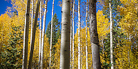 A forest full of Utah's Fall colors on panormaic display for locals and tourists along the Alpine Looop.