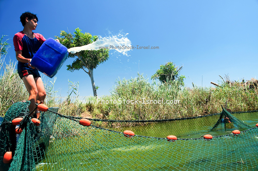Israel, Coastal Plains, Kibbutz Maagan Michael, Harvesting fish from an intensive growing pool collecting the net and bringing the fish to the extraction tool. Fisherman pours clove oil into the water to sedate the fish .