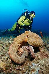 Taucher mit Oktopus am Felsriff