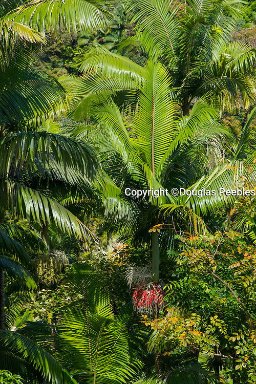 Palm tree, Hamakua  Coast, Island of Hawaii