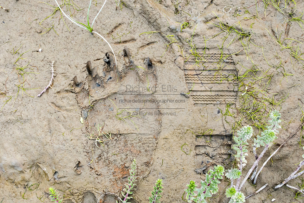 A brown bear pawprint in the mud next to a human boot mark at the McNeil River State Game Sanctuary on the Kenai Peninsula, Alaska. The remote site is accessed only with a special permit and is the world's largest seasonal population of grizzly bears in their natural environment.