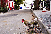 A chicken crosses the road at the Palmetto Carriage barn in historic Charleston, SC.