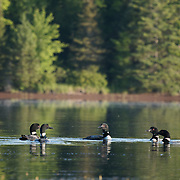 A small group of non-breeding adult common loons (Gavia immer) congregate to size each other up. Minnesota