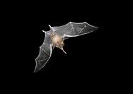 Common Long-tonged Bat - Glossophaga soricina