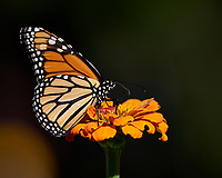 Monarch Butterfly on an Orange Flower. Autumn Backyard Nature in New Jersey. Image taken with a Nikon D810a camera and 300 mm f/4 lens (ISO 200, 300 mm, f/8, 1/800 sec)