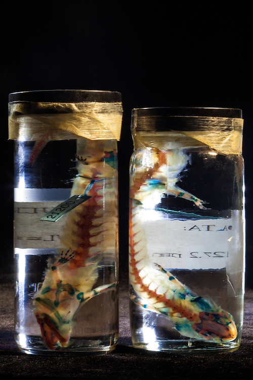 Stained lizard specimens in jars at the Tulane Natural History Museum
