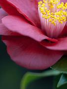 Camellia japonica 'Candy Apple'